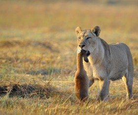 Dangling prey lioness walking on the prairie