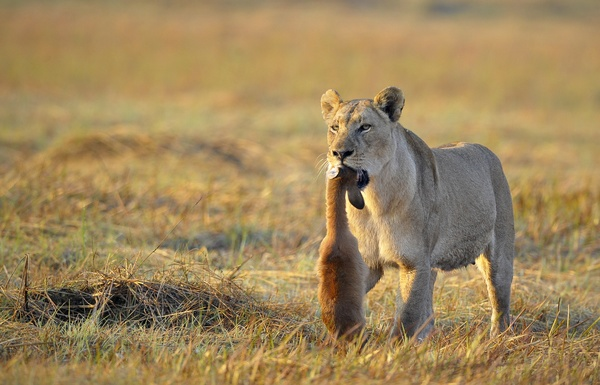 Dangling prey lioness walking on the prairie