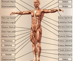 English explaining human muscle
