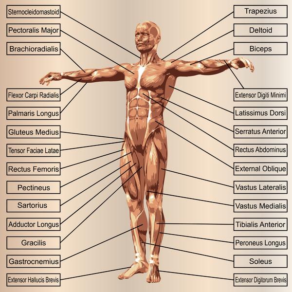 english explaining human muscle - people stock photo free download,