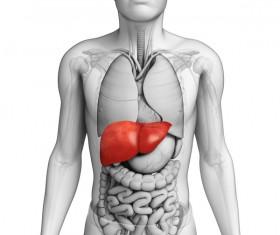 FIG male human body organ liver