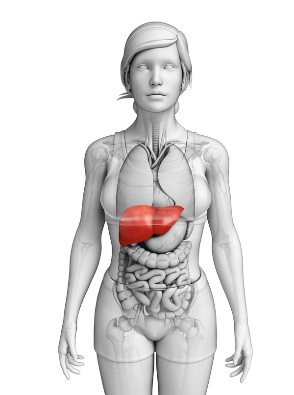 Female body organs liver front view