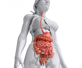 Female digestive system Lower uterine view