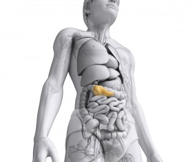 Female human organs under the pancreas