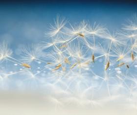 Flying dandelion seeds with blue background