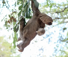 Grasp the tree branches swaying the sloth Stock Photo 01