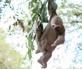 Grasp the tree branches swaying the sloth Stock Photo 02