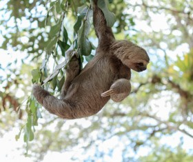 Grasp the tree branches swaying the sloth Stock Photo 03