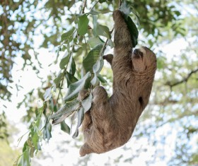Grasp the tree branches swaying the sloth Stock Photo 04
