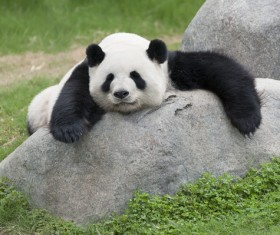 HD picture Lying on the stone sleeping on the giant panda