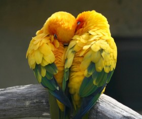 HD picture The cuddling parrot forms heart-shaped