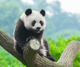 HD picture The cuddly giant panda sits on a tree branch
