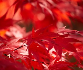 Late autumn maple leaf blurred background HD picture