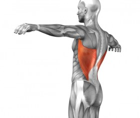 Lateral view of human latissimus dorsi