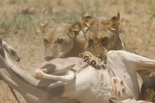 Lion of the African savanna catching antelope 02