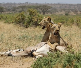 Lion of the African savanna catching antelope 03