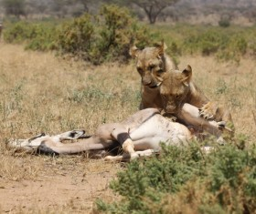 Lion of the African savanna catching antelope 04