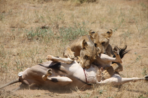 Lion of the African savanna catching antelope 05