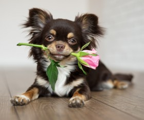 Lovely puppy lying on the floor dangling roses