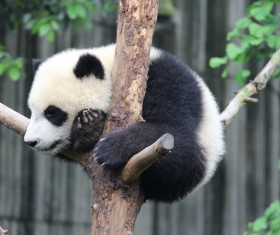 Lying on the tree fork to sleep on the panda