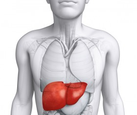 Male body organs liver front view