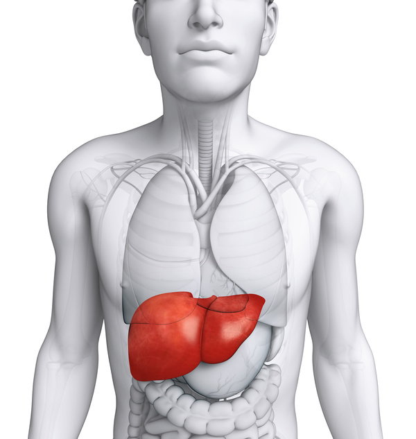 Male Body Organs Liver Front View People Stock Photo Free Download