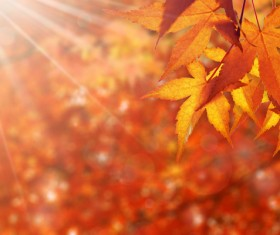 Maple leaf with blurred sunlight background Stock Photo 05