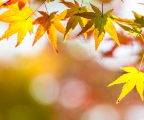 Maple leaf with blurred sunlight background Stock Photo 06