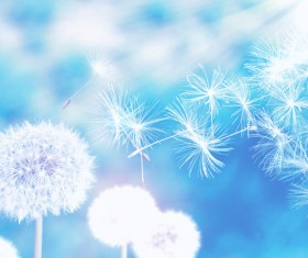 Mature dandelion with seeds and blue sky