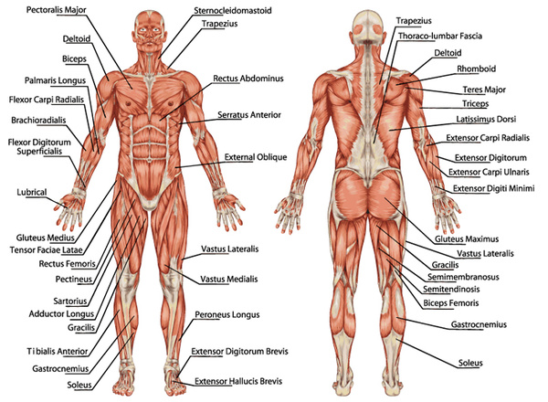 Muscle Diagram Throughout The Body Free Download
