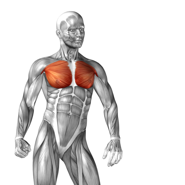 pectoralis major muscle diagram - people stock photo free download, Muscles