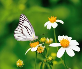 Pink Butterfly With White Chrysanthemum Orchid Stock Photo