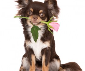 Pink puppy with pink rose on white background