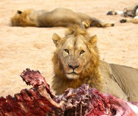 Resting lion with lion guarding food