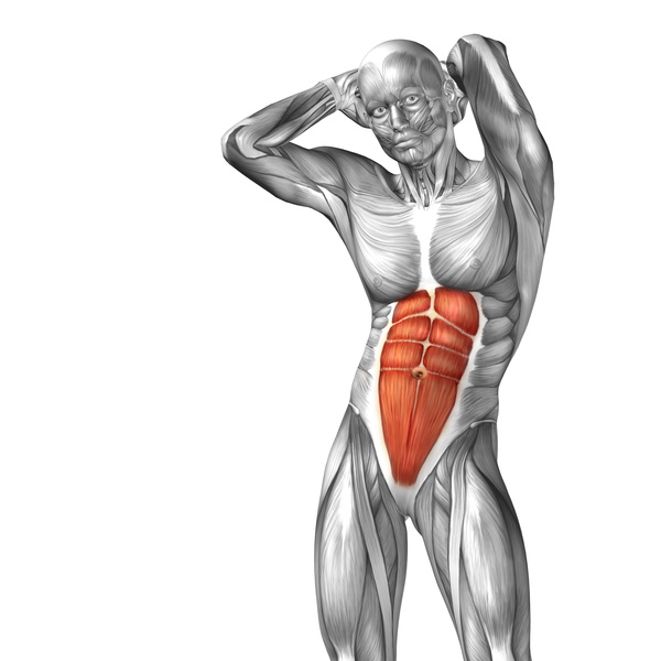 Schematic Diagram Of Human Abdominal Muscles Free Download