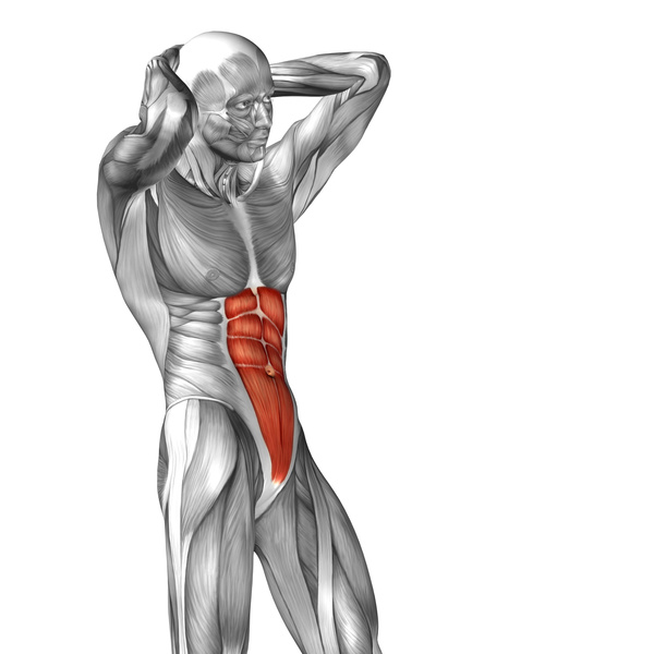Side view of human abdominal muscles free download