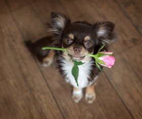 Sitting on the floor dangling pink roses puppy Stock Photo