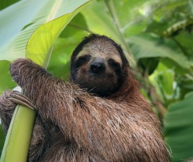 Sloth under banana leaves HD picture