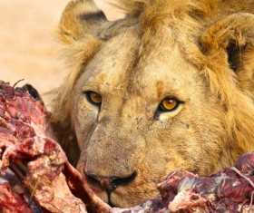 The lion is eating