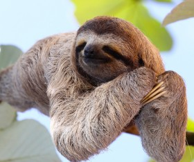 The sloth to sleep on the branches HD picture 01