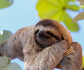 The sloth to sleep on the branches HD picture 02