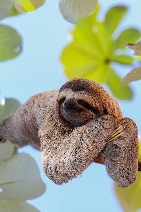 The Sloth To Sleep On The Branches Hd Picture 02 Animal