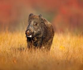 Wild boar walking in autumn grass Stock Photo