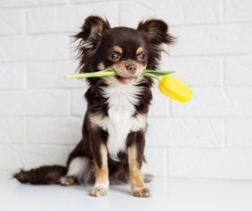 Yellow rose puppy with wall background Stock Photo