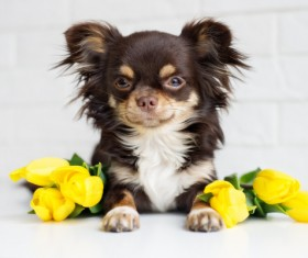 Yellow roses with tummy puppy Stock Photo