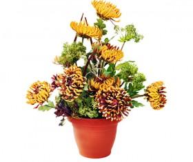 Beautiful colorful chrysanthemums Stock Photo