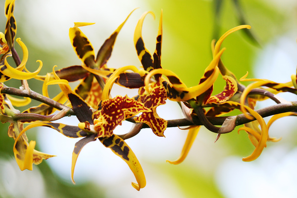Beautiful yellow tiger orchid flower Stock Photo