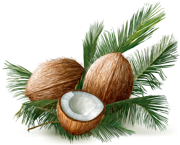 coconuts with palm leaves vector free download