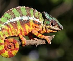Colorful chameleon Stock Photo 03