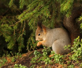 Cute little squirrel under the pine branch HD picture